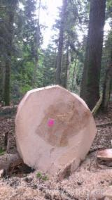 France Softwood Logs - Fir Saw Logs, diameter 18-60 cm