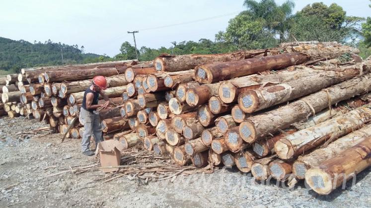 Eucalyptus Saw Logs, Diameter 30 Cm