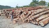 Hardwood Logs Suppliers and Buyers - Eucalyptus Saw Logs, diameter 30 cm