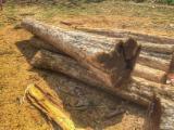 Wälder Und Rundholz Nordamerika - Furnierholz, Messerfurnierstämme