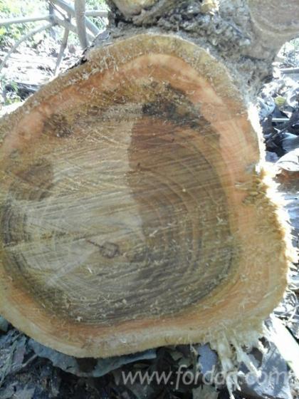 Teak-Woodland-from-Panama-229