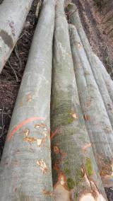 Hardwood  Logs Beech For Sale Germany - Beech Saw Logs, diameter 40+ cm