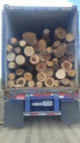 USA - Fordaq Online Markt - Schnittholzstämme, Kautschukbaum, Tulpenholz
