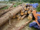 Softwood Logs Suppliers and Buyers - Pine Logs Diameter 10-35cm/Pine Logs Diameter 10-35cm