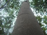 Wälder Und Rundholz Asien - Schnittholzstämme, Balsa