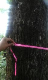 Лісисті Місцевості - Панама, Тікове Дерево