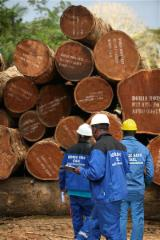 Sapelli Hardwood Logs - Tropical logs, diameter 60 cm