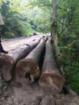Hardwood  Logs For Sale Romania - 35+ cm Beech Veneer Logs Romania