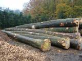 Wälder Und Rundholz Europa - Schnittholzstämme, Buche