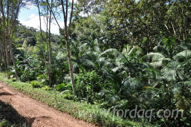 Eucalyptus-Woodland-from-Brazil-310
