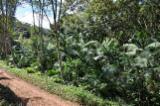 Bosgebieden Eucalyptus - Brazilië, Eucalyptus