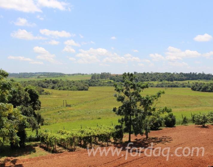 Eucalyptus-Woodland-from-Paraguay-500