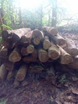 Ghana - Fordaq Online market - Supplier of Teak Industrial Logs 1-1.5 m