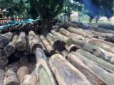 森林和原木 - 修剪圆柱形圆梁, Palo Santo