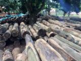 Hardwood  Logs - Buy 21 cm Palo Santo Cylindrical Trimmed Round Wood