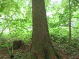 Лісисті Місцевості Ялина Picea Abies - Біла - Чеська Республіка, Ялина  - Біла