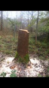 Laubrundholz  Esche Weiß- - Schnittholzstämme, Esche