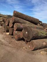 China Hardwood Logs - North American Black Walnut Logs, Diameter 30.48+ cm