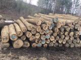 North American Ash Logs, Diameter 25+ cm