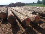 Meko Drvo  Trupci Za Prodaju - Za Rezanje, Bor  - Crveno Drvo, FSC