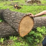 Russia Hardwood Logs - Oak Logs 30-50 cm