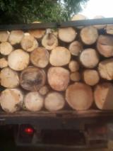 Standing Timber - Fresh Cut Rubberwood Logs, Diameter 20-50 m