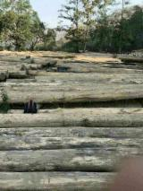 Teak Hardwood Logs - Myanmar Teak Logs 4-8 ft