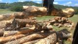 Forest And Logs Oceania - Camphor Laurel Logs