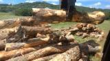 Bossen En Stammen Oceanië  - Zaagstammen, Kamferboom
