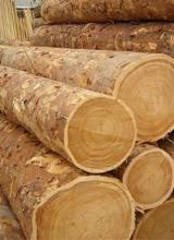 Softwood  Logs For Sale - Larch Veneer Logs 40+ cm