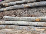 Pine / White Ash Logs 30+ cm
