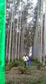 Stehendes Holz - Kolumbien, Eukalyptus