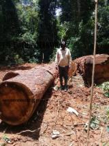 硬木原木待售 - 注册及联络公司 - 锯材级原木, 加蓬圆(盘)豆木