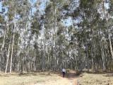 Wälder Und Rundholz Südamerika - Schnittholzstämme, Eukalyptus, FSC
