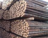 null - Scots Pine Industrial Logs, 8+ cm Diameter