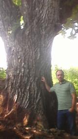 Greece Hardwood Logs - Black Walnut Saw Logs, 40-130 cm Diameter