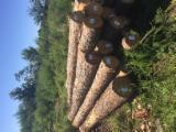 Softwood  Logs For Sale - Southern Yellow Pine Saw Logs, diameter 25-30; 35-40 cm
