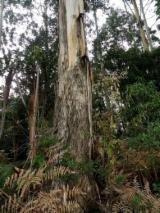 Wälder und Rundholz - Eukalyptus Stämme