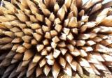 Acacia Hardwood Logs importers and wholesale buyers - Looking for Acacia Stakes 5 cm