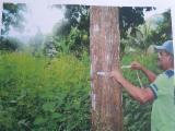 Лісисті Місцевості - Колумбія, Тікове Дерево