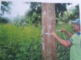 Šumsko Gazdinstvo Teak - Kolumbija, Teak