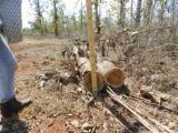 null - Teak Industrial Logs, 12-50 cm Diameter