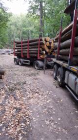 Tilia (Lime) Saw Logs, diameter 25+ cm