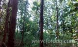 Ghana Standing Timber - Abura Standing Timber