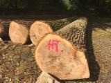 Find best timber supplies on Fordaq - Black Poplar Peeling Logs 40+ cm