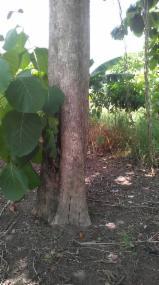 Hardwood  Logs - Teak Logs 40 cm