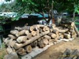 Camphor Wood Hardwood Logs - Camphor Logs 36-68 cm