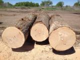 Lithuania Hardwood Logs - Oak Veneer Logs 30-60+ cm