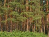 Stehendes Holz - Russland, Tanne
