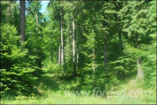 Spruce--Woodland-from-Romania-500